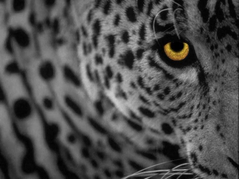 Leopard izide konec oktobra?